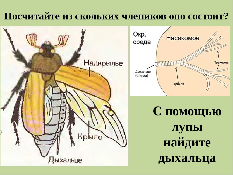 задали строение надкрыльев майского жука фото встает вопрос, где