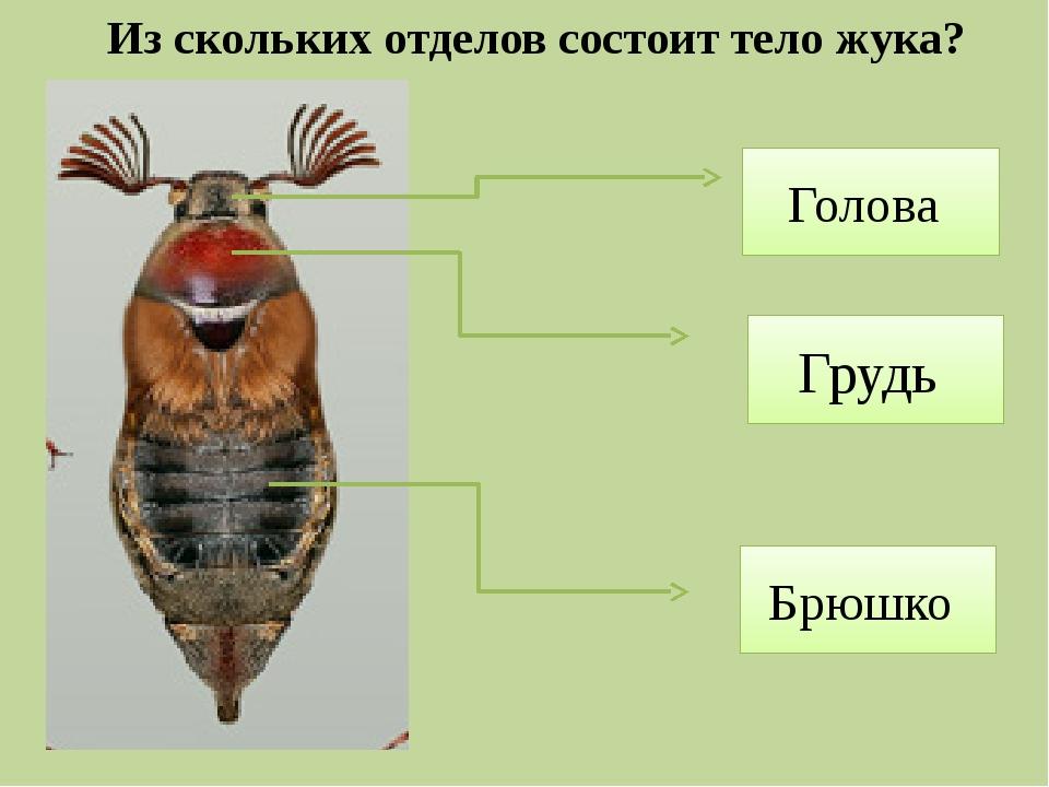 Из скольких отделов состоит тело жука? Голова Грудь Брюшко