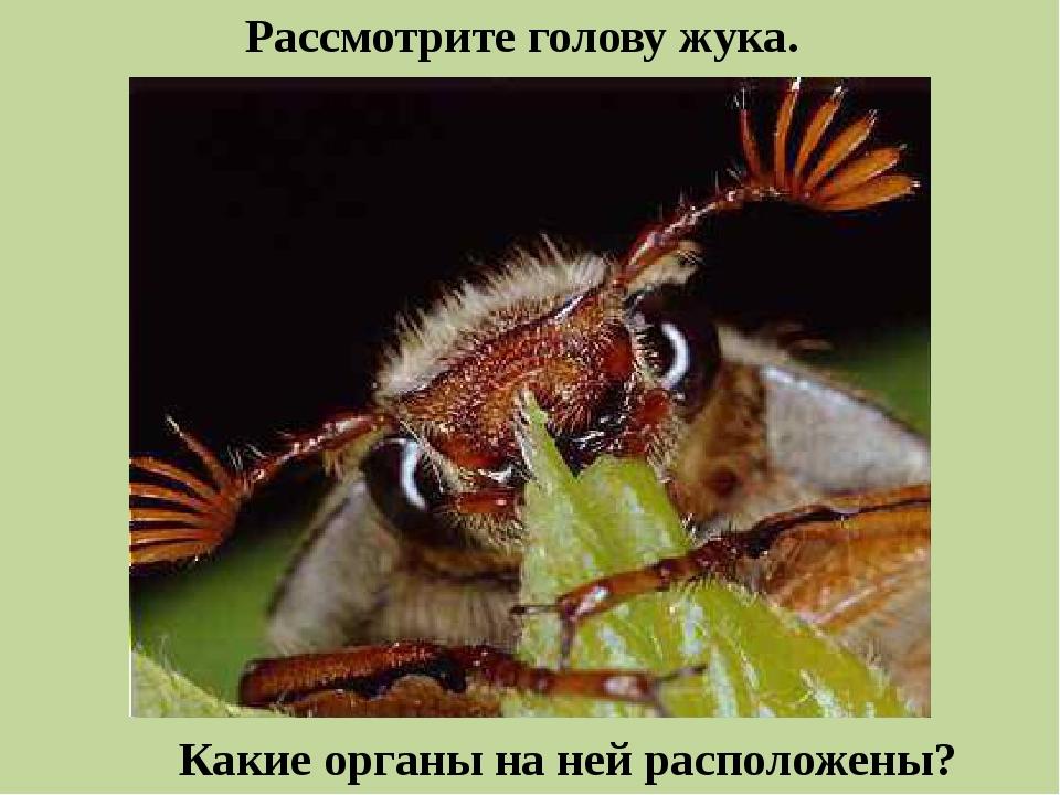 Рассмотрите голову жука. Какие органы на ней расположены?