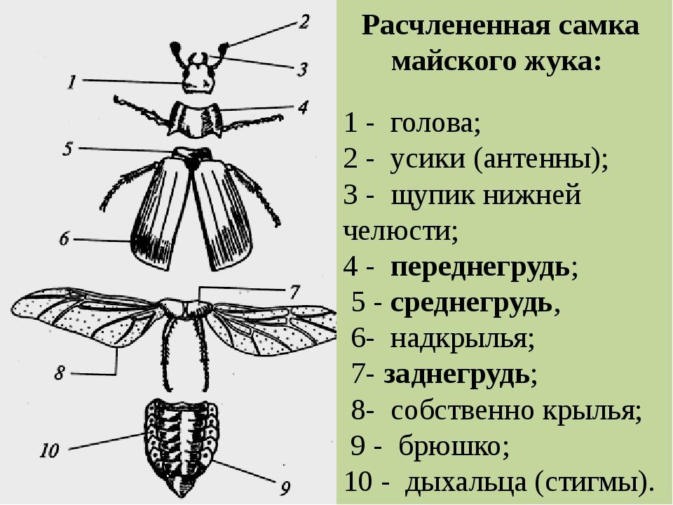 картинки части к майскому жуку нравится
