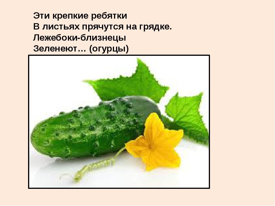 Эти крепкие ребятки В листьях прячутся на грядке. Лежебоки-близнецы Зеленеют…...