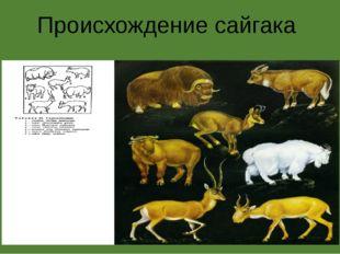 Происхождение сайгака