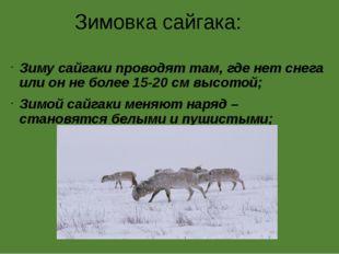 Зимовка сайгака: Зиму сайгаки проводят там, где нет снега или он не более 15