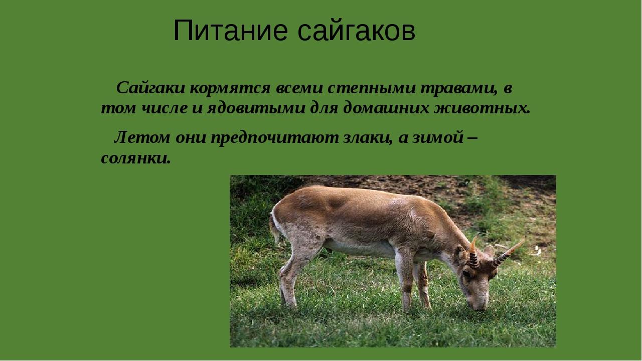 Сайгаки кормятся всеми степными травами, в том числе и ядовитыми для домашни...