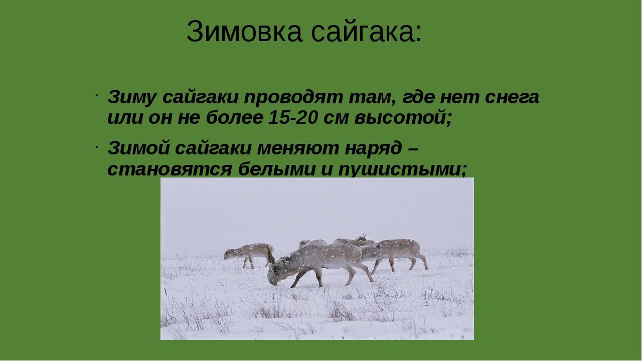 Зимовка сайгака: Зиму сайгаки проводят там, где нет снега или он не более 15...