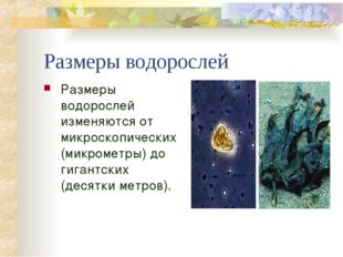 Размеры водорослей Размеры водорослей изменяются от микроскопических (микроме