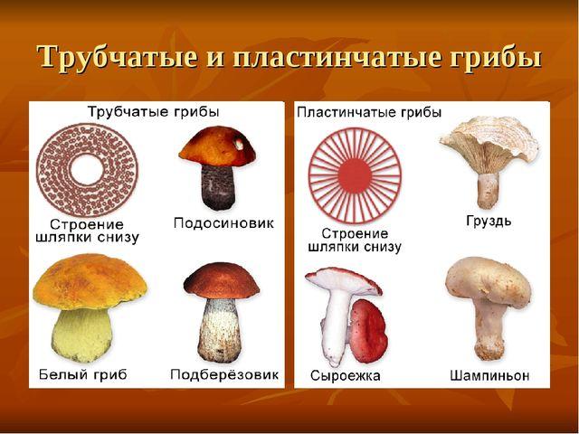 Трубчатые и пластинчатые грибы