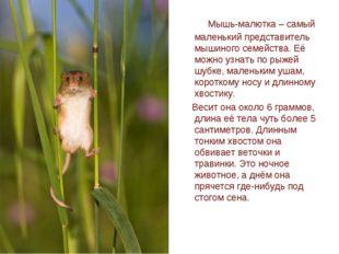 Мышь-малютка – самый маленький представитель мышиного семейства. Её можно уз