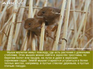 Мыши малютки живут повсюду, где есть растения с длинными стеблями. Этих мыше