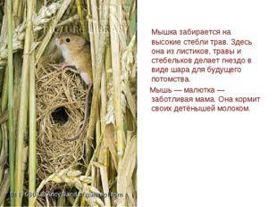 Мышка забирается на высокие стебли трав. Здесь она из листиков, травы и стеб