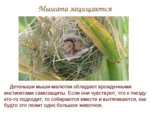 Мышата защищаются Детеныши мыши-малютки обладают врожденными инстинктами само