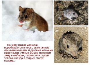 На зиму мыши малютки перебираются в норы, выкопанные лесными мышами и другим