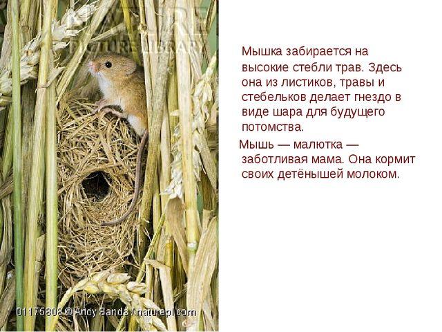 Мышка забирается на высокие стебли трав. Здесь она из листиков, травы и стеб...