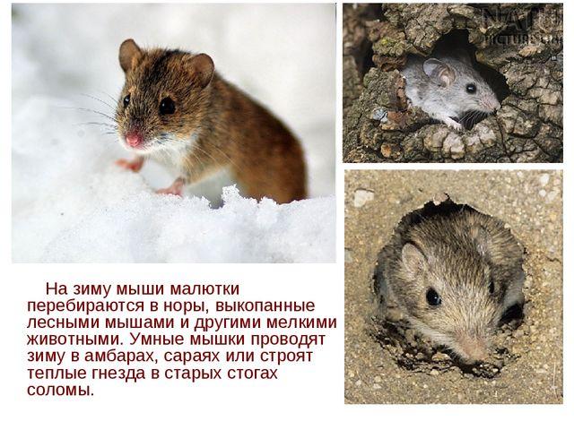 На зиму мыши малютки перебираются в норы, выкопанные лесными мышами и другим...
