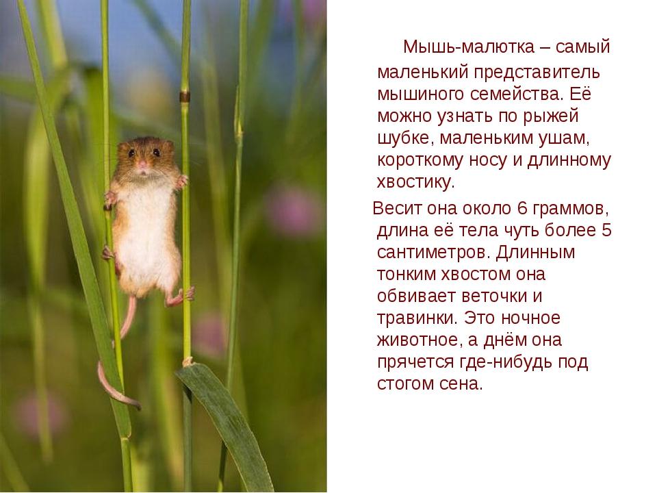 Мышь-малютка – самый маленький представитель мышиного семейства. Её можно уз...
