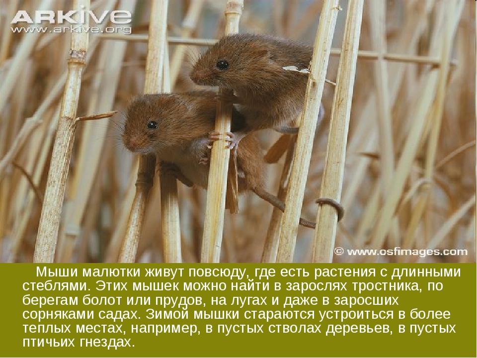 Мыши малютки живут повсюду, где есть растения с длинными стеблями. Этих мыше...