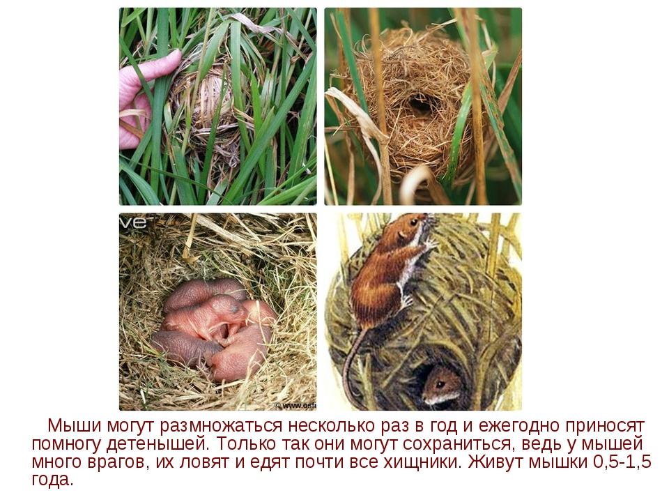 Мыши могут размножаться несколько раз в год и ежегодно приносят помногу дете...