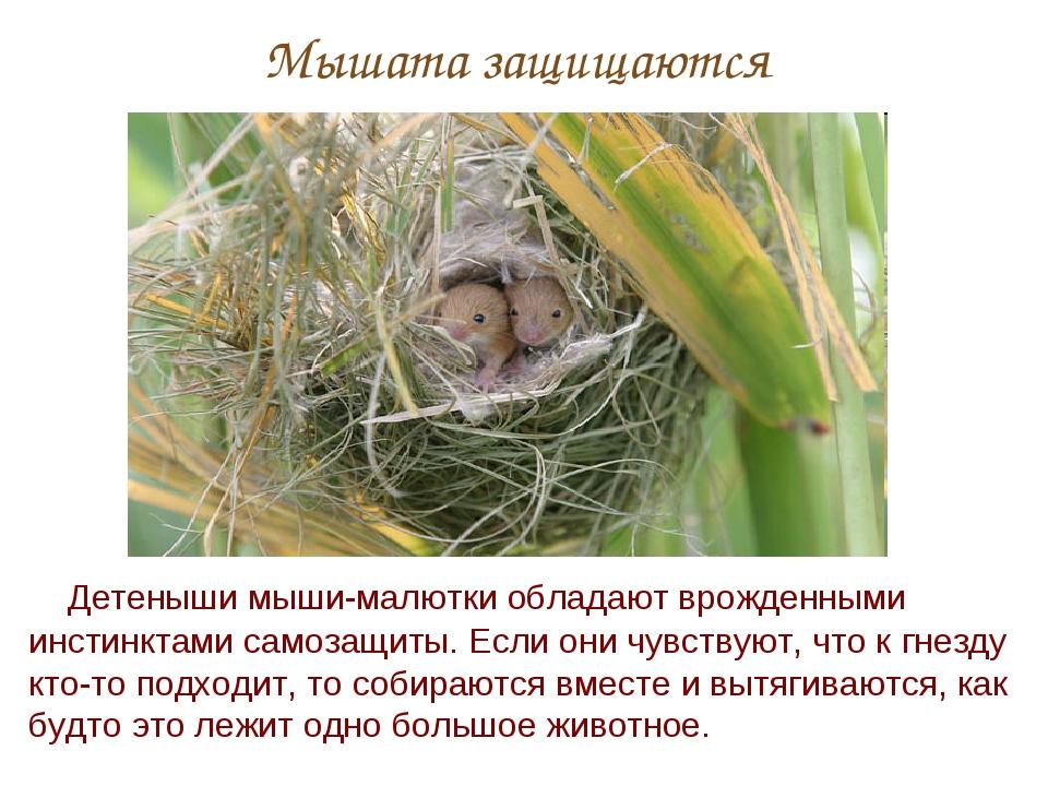 Мышата защищаются Детеныши мыши-малютки обладают врожденными инстинктами само...