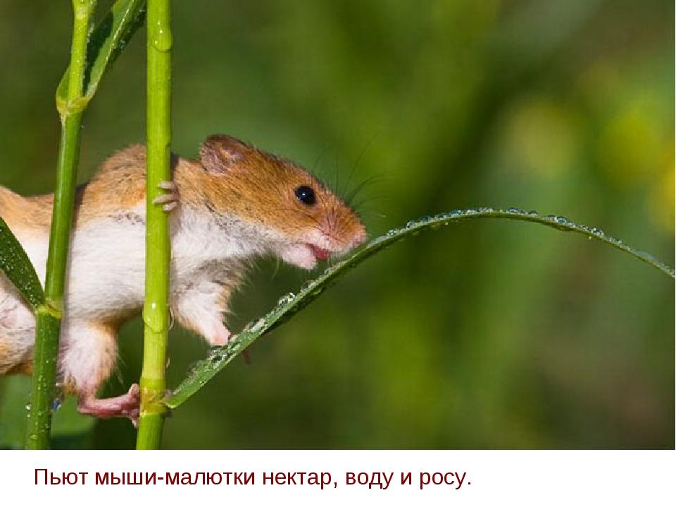 Пьют мыши-малютки нектар, воду и росу.