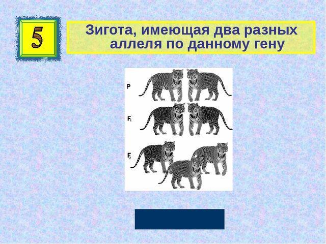 Зигота, имеющая два разных аллеля по данному гену Гетерозигота Автор: Руссков...