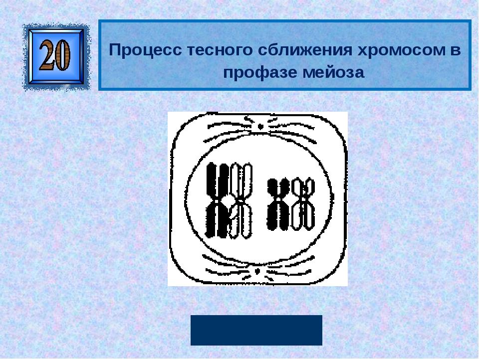 Конъюгация Процесс тесного сближения хромосом в профазе мейоза Автор: Руссков...