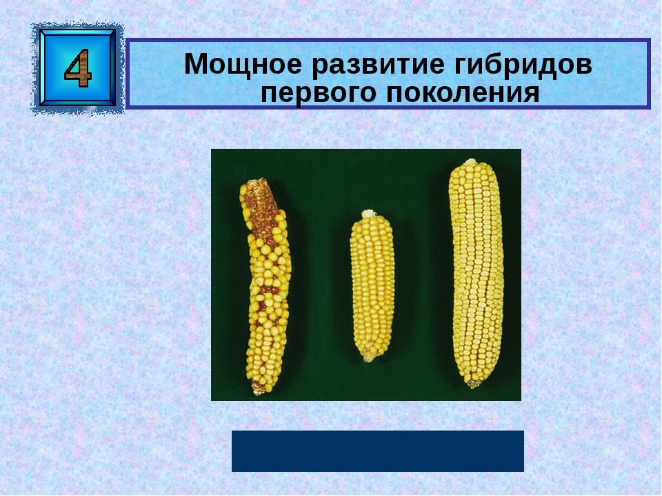 Мощное развитие гибридов первого поколения Гетерозис Автор: Русскова Ю.Б.