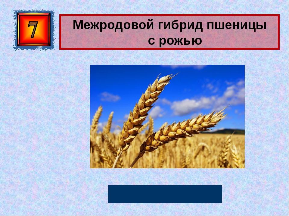 Межродовой гибрид пшеницы срожью Тритикале Автор: Русскова Ю.Б.
