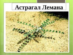 Астрагал Лемана