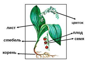 корень стебель лист цветок плод семя