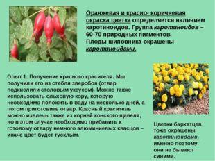 Оранжевая и красно- коричневая окраска цветка определяется наличием каротинои