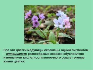 Все эти цветки медуницы окрашены одним пигментом – антоцианом; разнообразие о