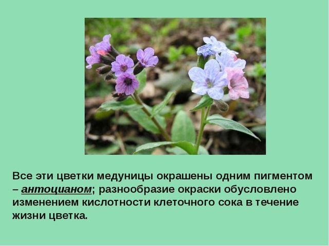 Все эти цветки медуницы окрашены одним пигментом – антоцианом; разнообразие о...