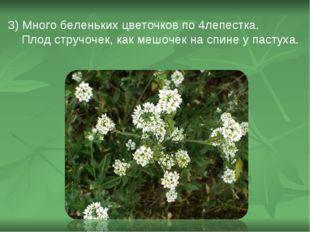 3) Много беленьких цветочков по 4лепестка. Плод стручочек, как мешочек на спи