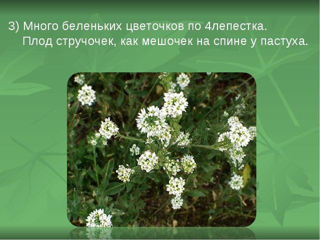 3) Много беленьких цветочков по 4лепестка. Плод стручочек, как мешочек на спи...