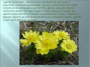 Адонис весенний – многолетнее травянистое растение, с коротким, толстым корне