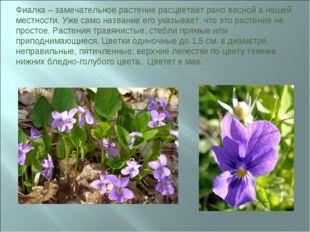 Фиалка – замечательное растение расцветает рано весной в нашей местности. Уже