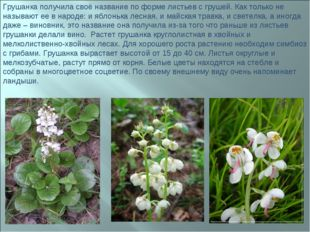 Грушанка получила своё название по форме листьев с грушей. Как только не назы