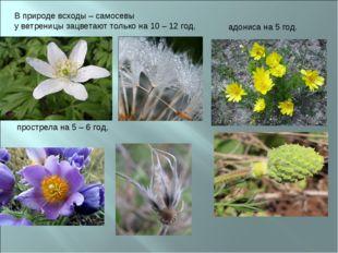 В природе всходы – самосевы у ветреницы зацветают только на 10 – 12 год, прос