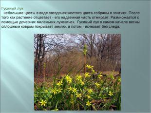 Гусиный лук небольшие цветы в виде звездочек желтого цвета собраны в зонтики.