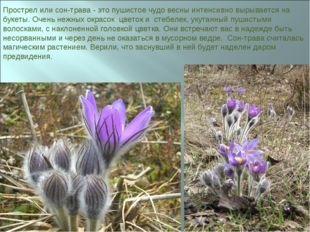 Прострел или сон-трава - это пушистое чудо весны интенсивно вырывается на бук