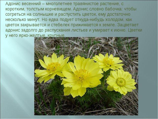 Адонис весенний – многолетнее травянистое растение, с коротким, толстым корне...