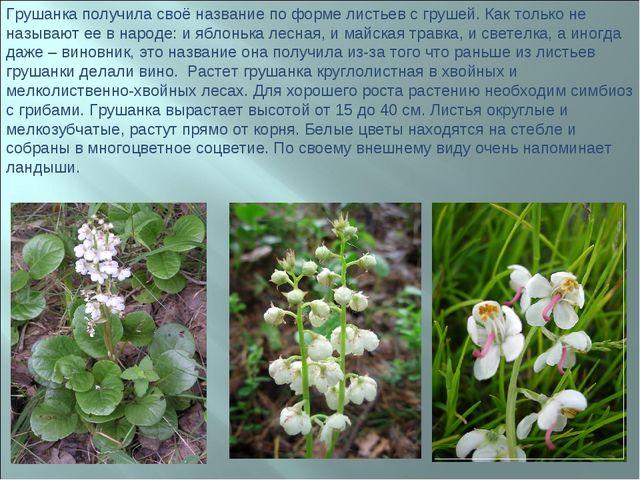 Грушанка получила своё название по форме листьев с грушей. Как только не назы...