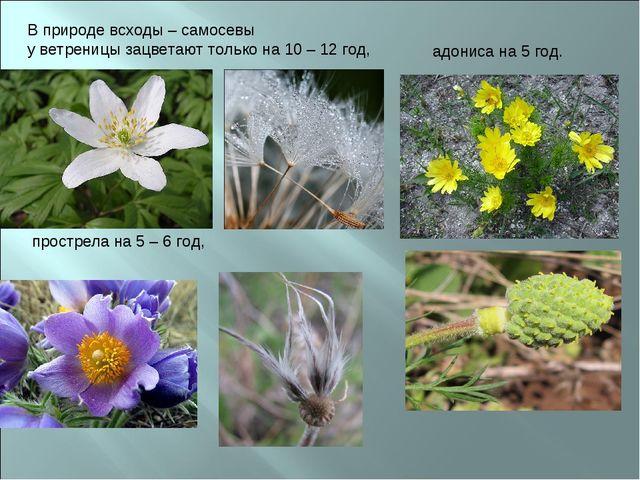 В природе всходы – самосевы у ветреницы зацветают только на 10 – 12 год, прос...
