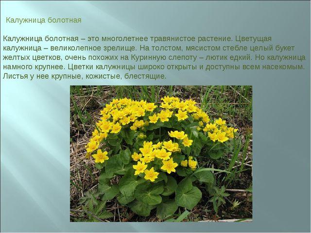Калужница болотная Калужница болотная – это многолетнее травянистое растение...