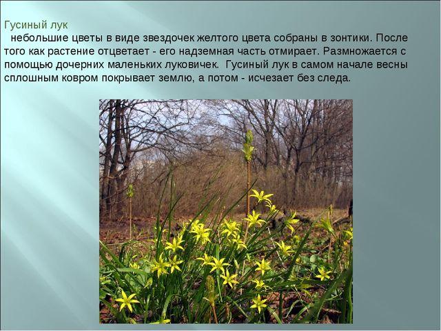 Гусиный лук небольшие цветы в виде звездочек желтого цвета собраны в зонтики....