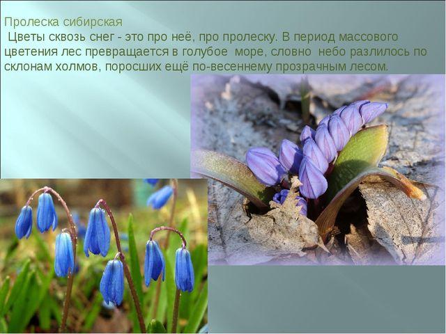Пролеска сибирская Цветы сквозь снег - это про неё, про пролеску. В период ма...