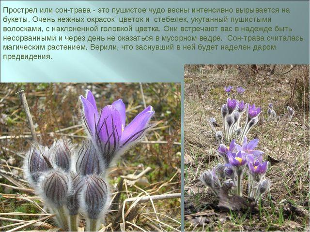 Прострел или сон-трава - это пушистое чудо весны интенсивно вырывается на бук...