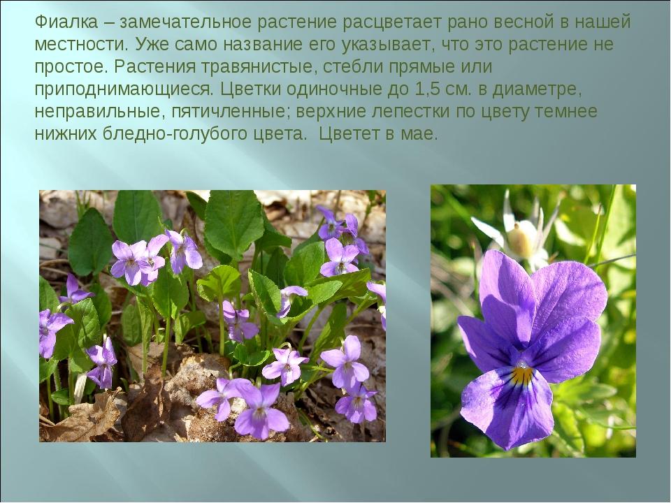 Фиалка – замечательное растение расцветает рано весной в нашей местности. Уже...