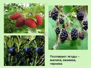 Поспевают ягоды – малина, ежевика, черника.