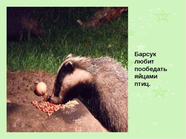Барсук любит пообедать яйцами птиц.